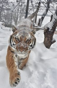 Amur Tiger - Photo Credit to Amanda Cone