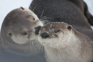 Otter - Photo credit to Amanda Cone
