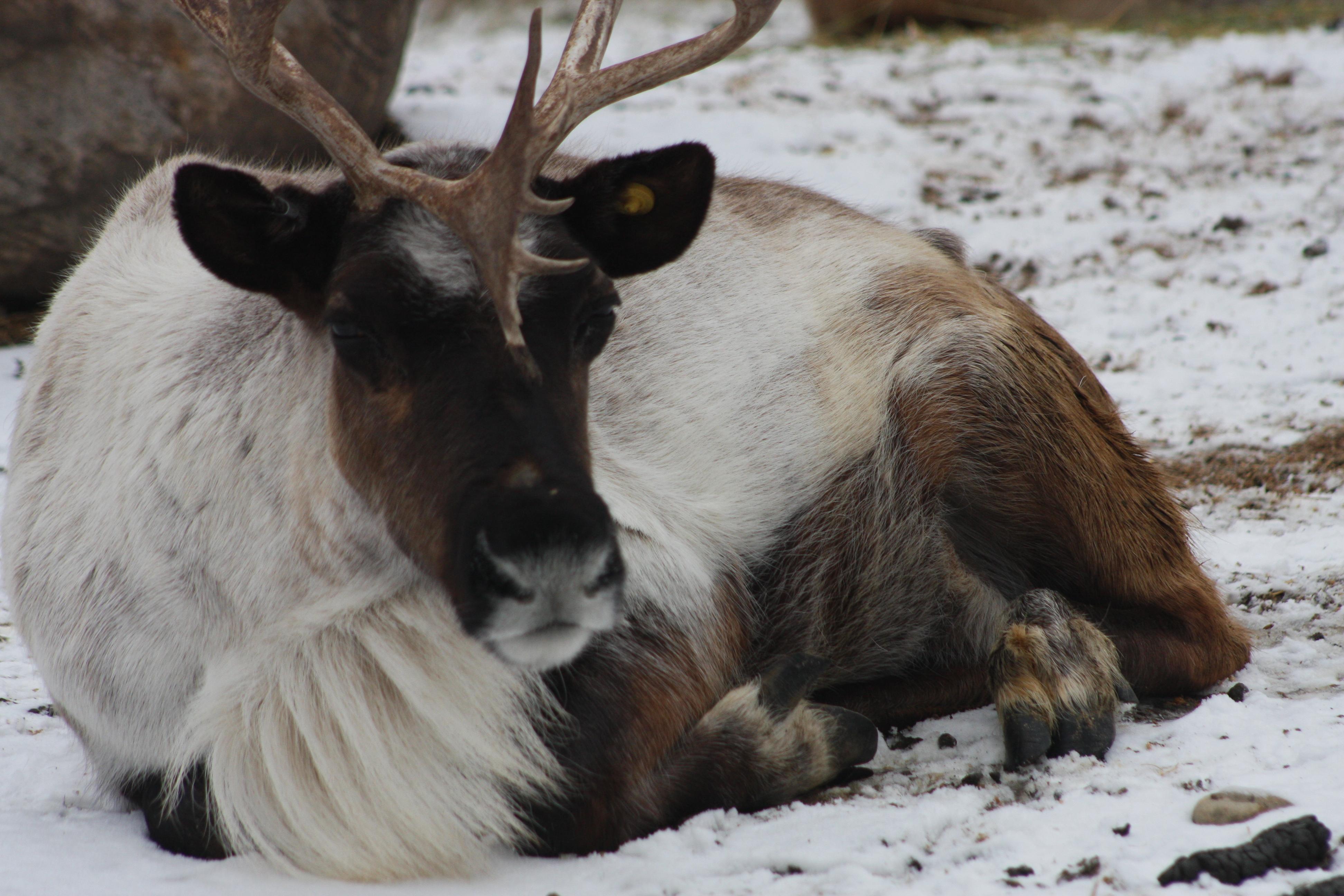 Reindeer - Photo Credit to Amanda Cone